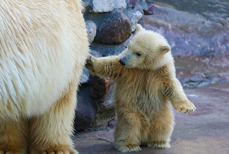curiosidades_urso_polar