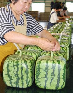 A melancia quadrada não rola da mesa/Kyodo News/AP