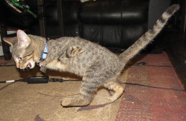 Gato Mercury vive em duas patas