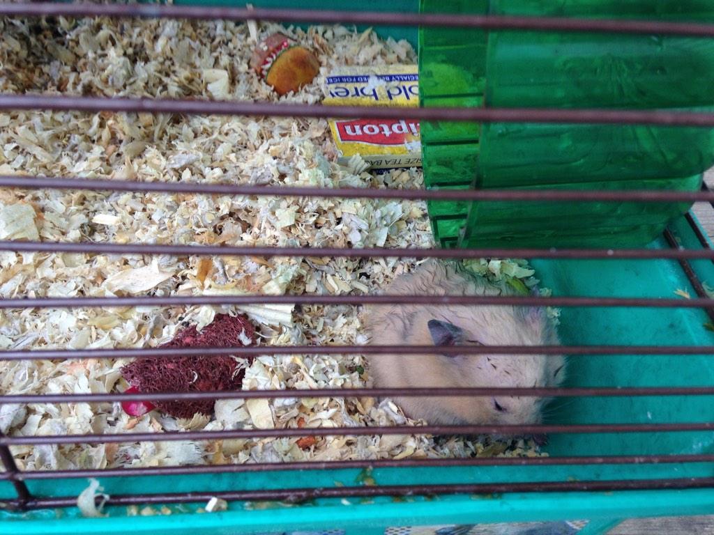 hamster (2)