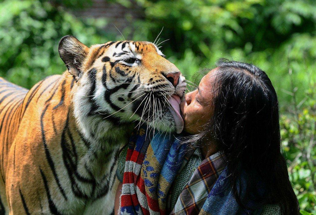 10-de-janeiro-de-2014-Mulan-Jamilah-beia-um-tigre-em-um-jardim-vizinho-a-sua-casa-na-Indonesia-1024x696