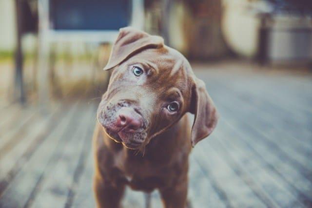 cachorro_inclina_a_cabec_a