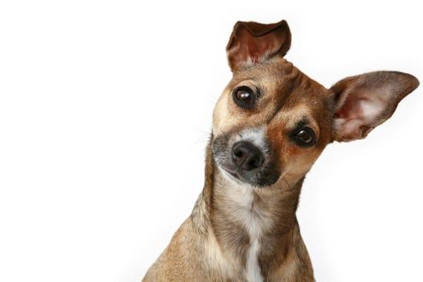 cachorro_inclina_a_cabec_a_3