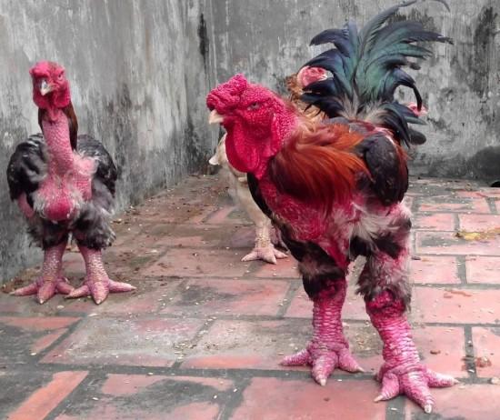 galinha (5)